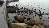 cat hunting ducks at sea cpast - 177646718