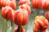 tulipano rosso - 177646951
