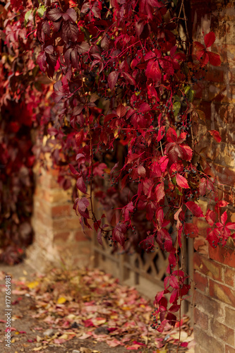 Fotobehang Rood paars Autumn time. Tree-like girlish grapes (Parthenocissus quinquefolia) with red leaves.