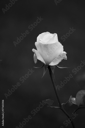 Single White Rose on black - 177655106
