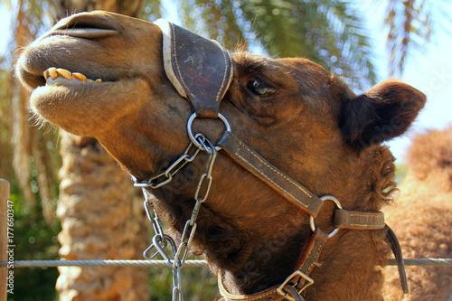 Fotobehang Kameel верблюд