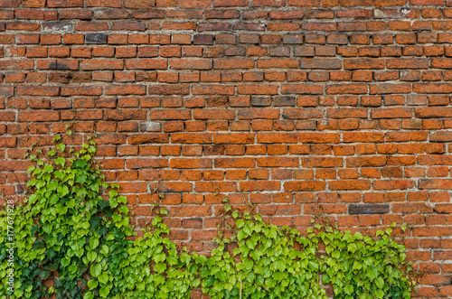 Foto op Canvas Baksteen muur Vintage red brick wall background overgrown with ivy