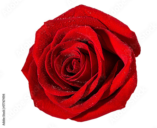 Staande foto Roses Fresh beautiful rose isolated on white background with clipping path