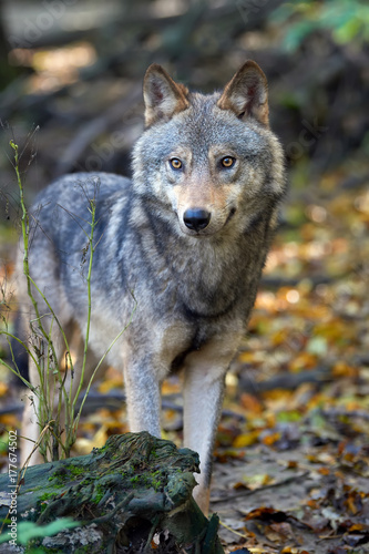 Aluminium Wolf Wolf hunting in the forest