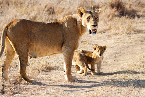 lioness with cubs Poster