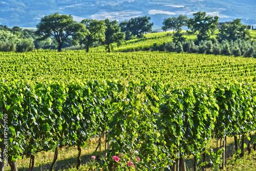 Deurstickers Toscane Vineyard near the city of Montalcino, Tuscany, Italy