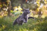 Cute russian blue cat running in nature © disq