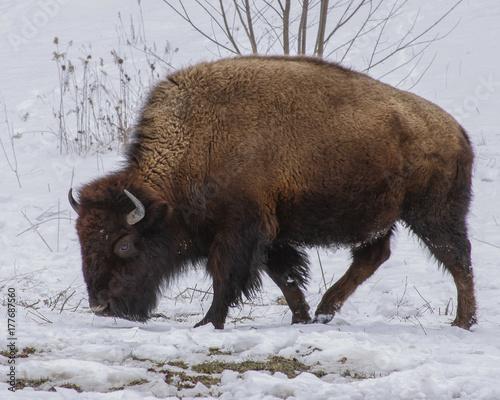Aluminium Bison Buffalo in the snow