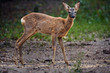 Roe deer by the forest - 177688336