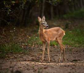 Roe deer by the forest
