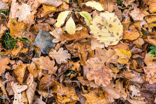Earth is covered with colorful leaves of oak, hornbeam and other species of trees, autumn