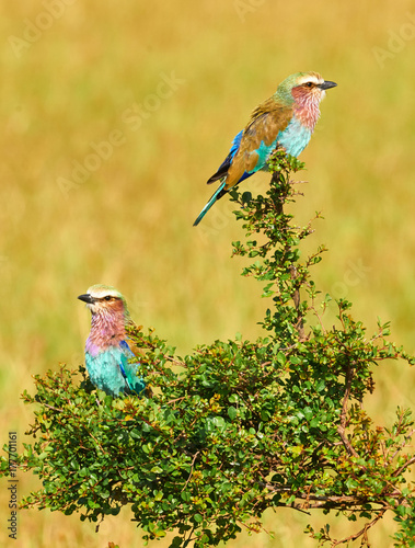 Two Lilac breasted roller Plakat
