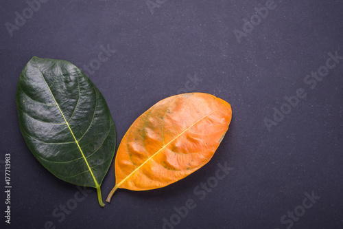 Poster Different color and age of leaves of the jackfruit tree leaves from fresh green to dry brown on black stone background