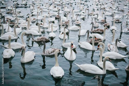 Swans swim along the river in Prague Poster