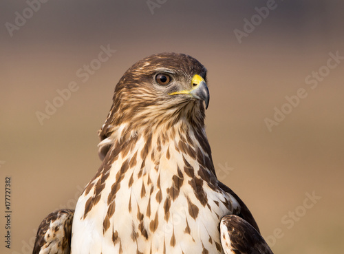 Bird of prey buzzard Poster