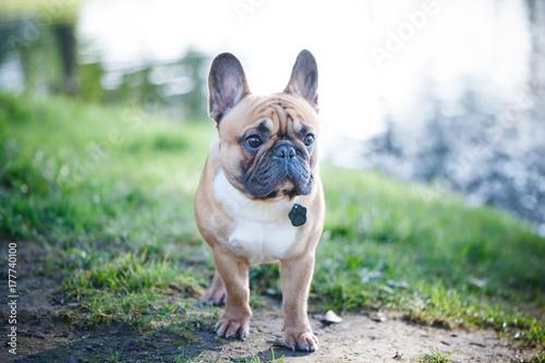 Papiers peints Bouledogue français Dog, a red French bulldog in the park. Portrait