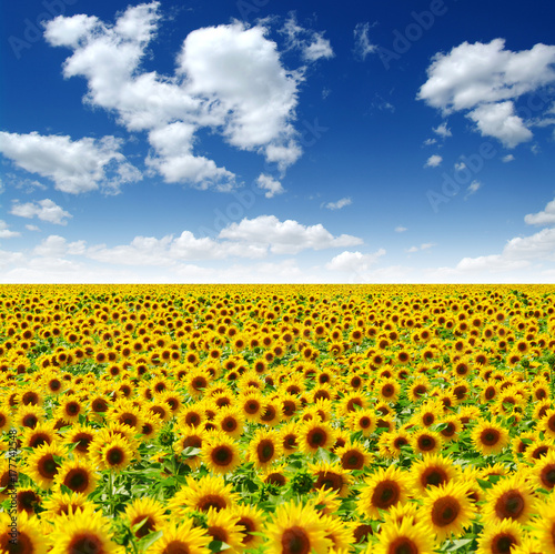 Fotobehang Geel field of blooming sunflowers