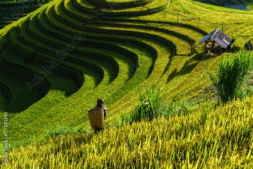 Papiers peints Pistache Terraced rice field in harvest season in Mu Cang Chai, Vietnam. Mam Xoi popular travel destination.