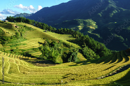 Papiers peints Miel Terraced rice field in harvest season at sunset in Mu Cang Chai, Vietnam.