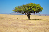 African savanna grassland landscape, acacia tree in savannah in Africa
