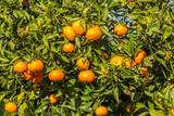 Mogna clementiner på träd i en citrusodling