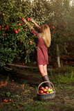 Girl in red dress is picking red apples in orchard - 177770766