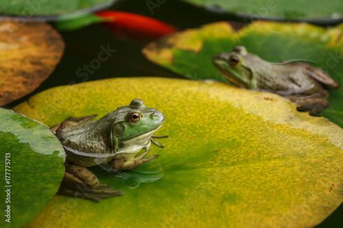 Fotobehang Kikker Cute frogs sitting on lily leaves