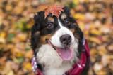 Bouvier Bernese mountain dog portrait in outdoors - 177777380