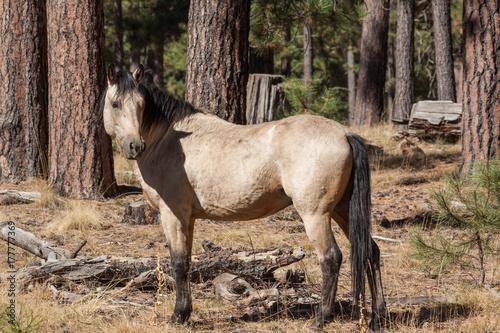 Wild Horse in the Pines Plakát