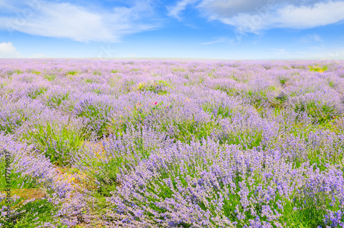 Deurstickers Lichtroze lavender field and blue sky