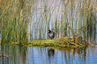 An American Coot stands on a floating platform nest