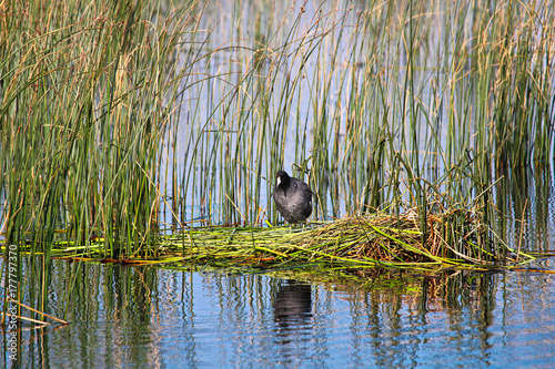 Fotobehang Canada An American Coot stands on a floating platform nest