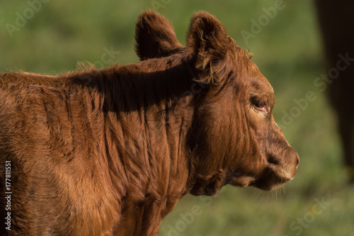 Head of a brown cow Poster