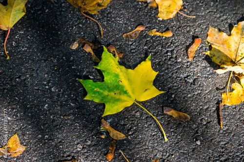 Vivid leaf on the dark grey asphalt Poster