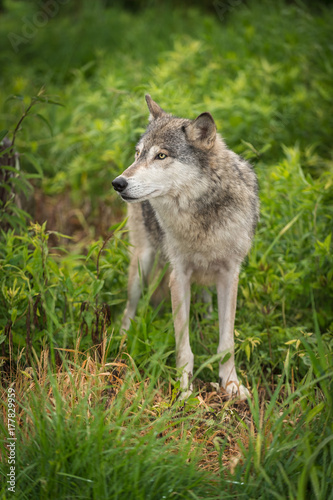Aluminium Wolf Grey Wolf (Canis lupus) Stands Looking Left