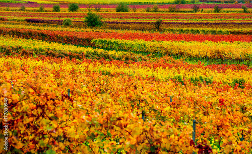 Papiers peints Miel vineyard in the autumn