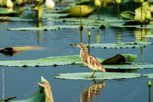 Bird on lilypad Poster