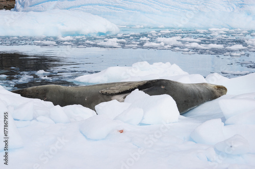 icy beach with animal in antarctic Poster