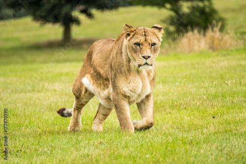 Fotobehang Lion Lioness Hunters