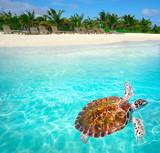 Mahahual Caribbean beach turtle photomount - 177889789