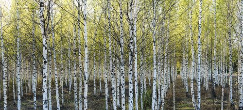 Aluminium Berkenbos Birch trees in spring time in a Finnish forest