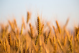 yellow ears of wheat at sunset in nature - 177899317
