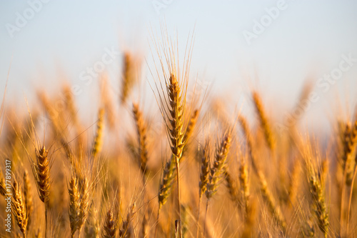 yellow ears of wheat at sunset in nature Poster