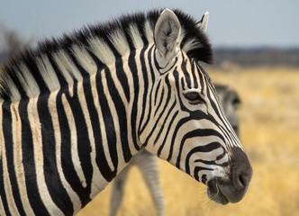 Zebra freilebend in Afrika