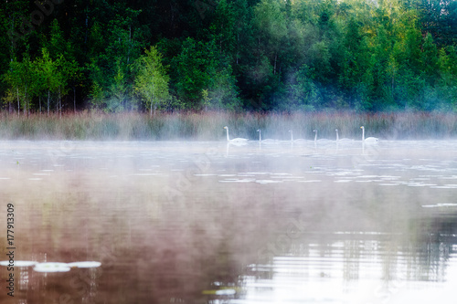 Swans float on the lake in the morning in the fog