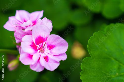 Pink geranium Plakat
