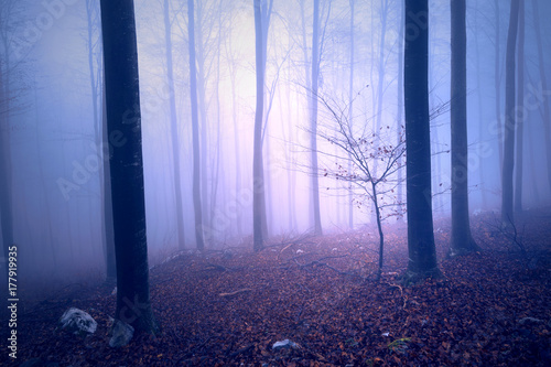 Fototapeta Fantasy purple blue colored foggy forest tree landscape. Color filter effect used.