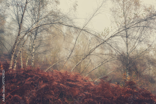 Fotobehang Berkenbos Autumn foggy image for wallpaper or cover, misty birch trees and autumnal fern in the grove