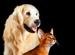 Cat and dog, abyssinian cat, golden retriever together looks at right isolated on black