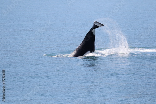 Frei lebender Killerwal in Seward, Alaska Poster